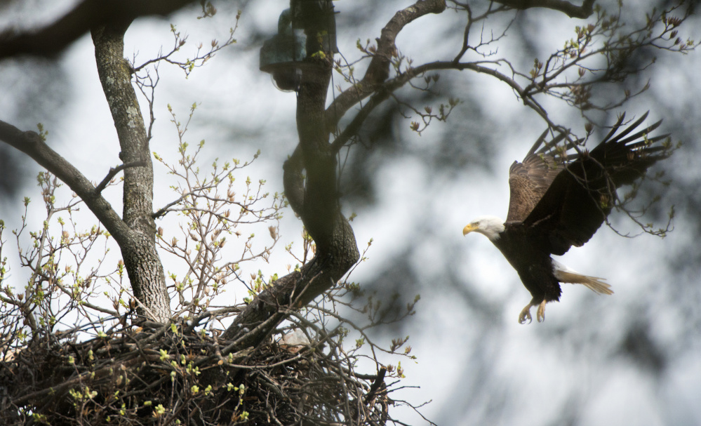 The national bird since 1782, the bald eagle is again thriving with much credit due the Endangered Species Act that included protection of nesting areas. About 70,000 of the raptors grace the skies – up from a low of 400 breeding pairs in 1963.