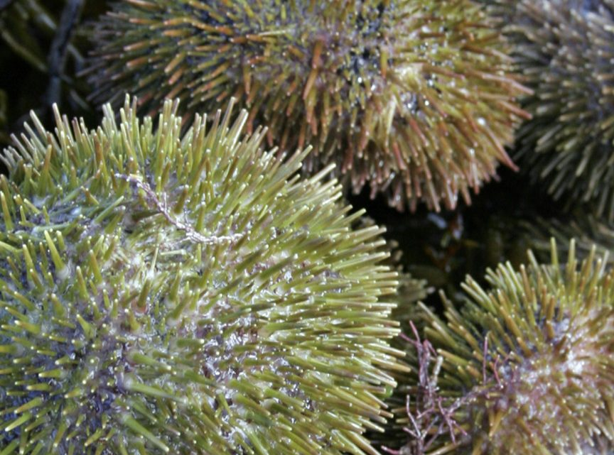 Without kelp, sea urchins stop producing uni, which sells for $200 a pound.
