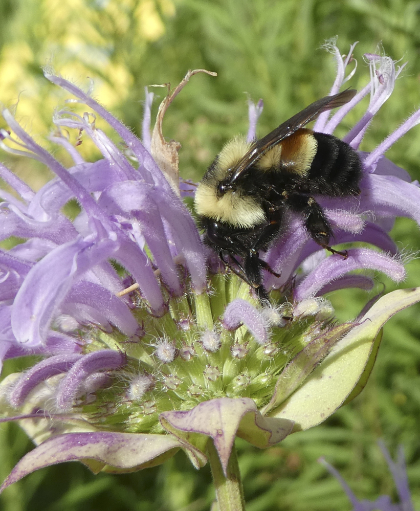 A rusty patched bumblebee in Minnesota. The species will now be listed as endangered.