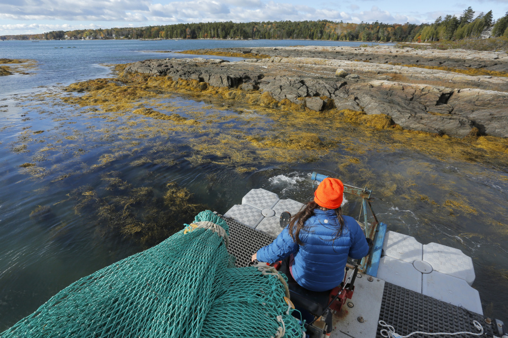 Rhyan Blazek harvests rockweed in Cundys Harbor in 2016. A reader argues that courts should classify the harvesting of seaweed growing in the intertidal zone as