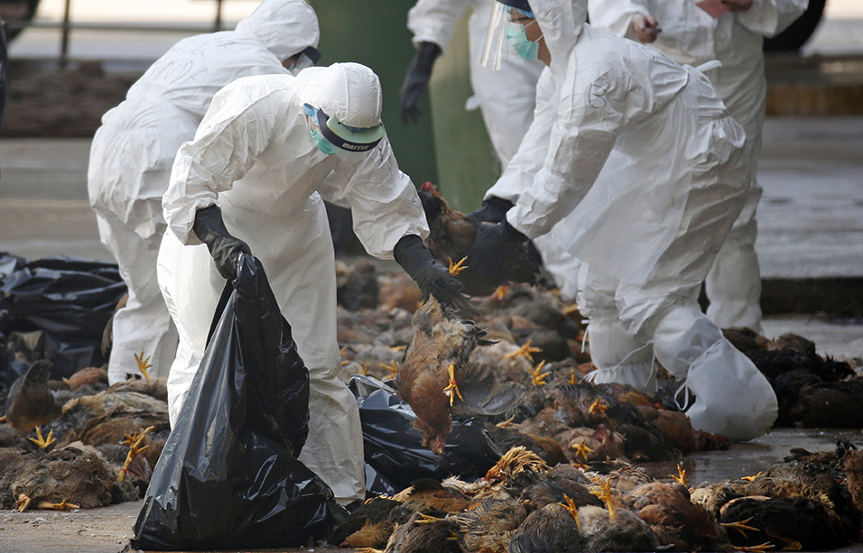 Health workers collect dead chickens after they were killed by using carbon dioxide in December 2014.. Some of the birds at the wholesale poultry market in Hong Kong had been diagnosed with bird flu.