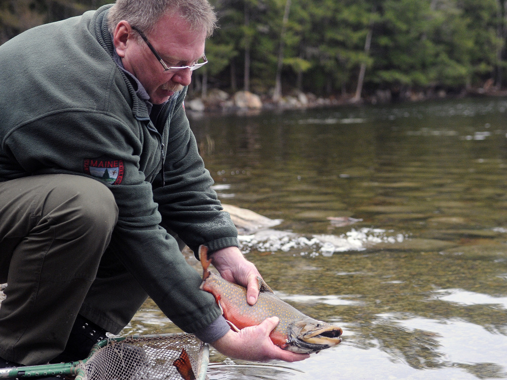 Tom McLaughlin, fish culture supervisor at the Governor Hill Hatchery, releases a brooder brook trout into Jamie's Pond in Farmingdale in November. The Department of Inland Fisheries and Wildlife released dozens of the 3- to 4-pound fish in lakes across Maine to build up trout stocks. After the fish serve as breeders at the Augusta hatchery,