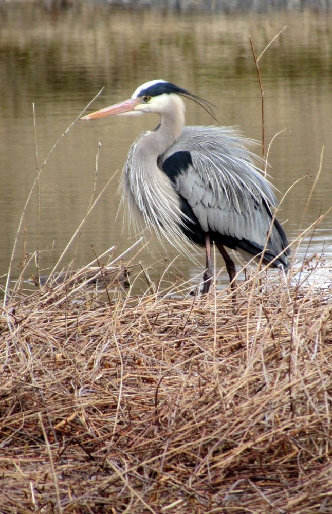 Cathy Wilkie Conley of Alfred was watching for wildlife when a pair of great blue herons, including the one pictured above, landed at Number One Pond in Sanford.