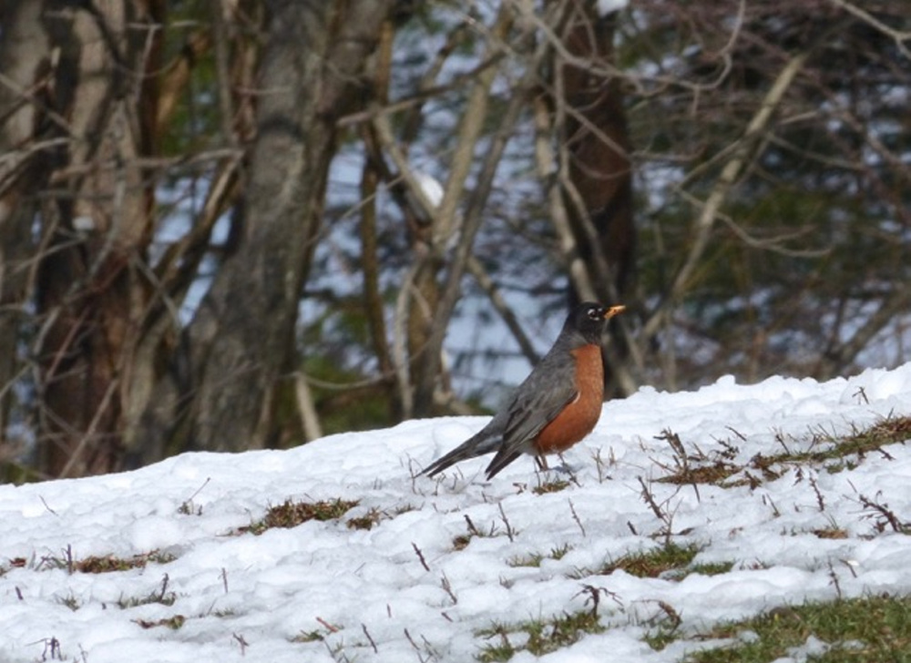 This robin is wondering why it came back to Maine so early. Where are all the worms? Photo by Linda Rogoff, Portland