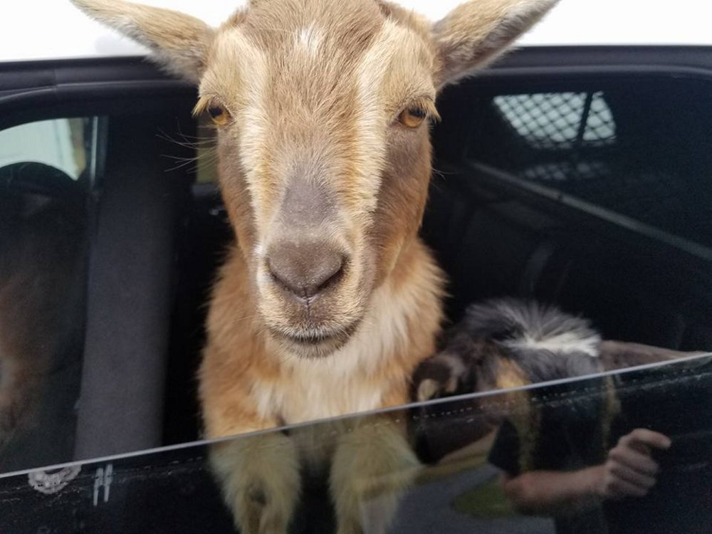 A goat rides in a Belfast officer's cruiser Sunday.