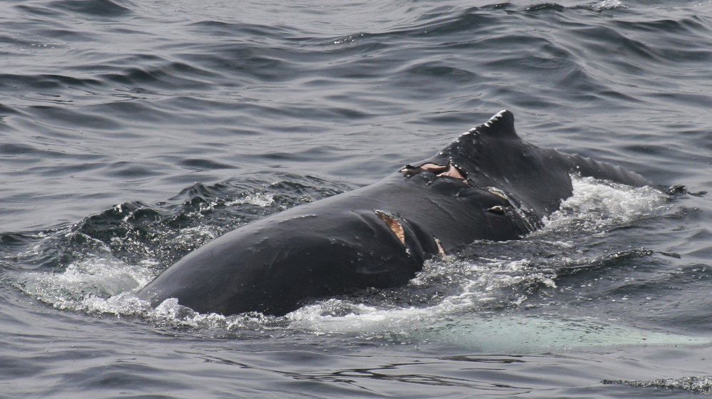 A humpback whale bears wounds consistent with colliding with a vessel.