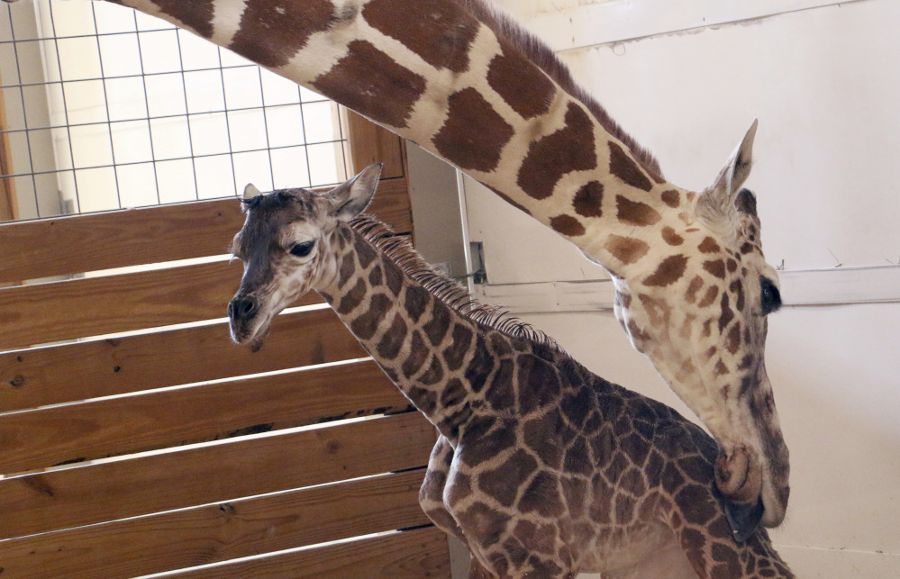 April the giraffe licks her as-yet-unnamed calf. The baby's birth was broadcast to YouTube's second-largest livestreaming audience. Owners of the animal park won't say exactly how much profit they've pulled in from all April-related ventures.
