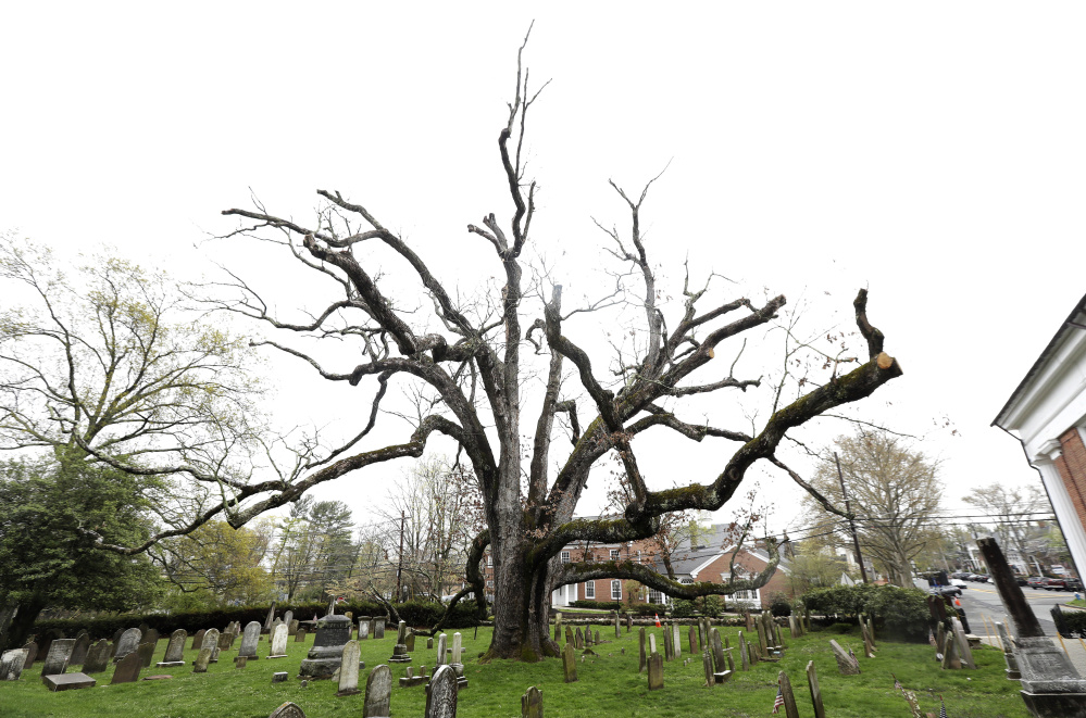 A 600-year-old white oak tree stands on the grounds of Basking Ridge Presbyterian Church in Bernards, N.J. Crews are scheduled to remove the tree on Monday.