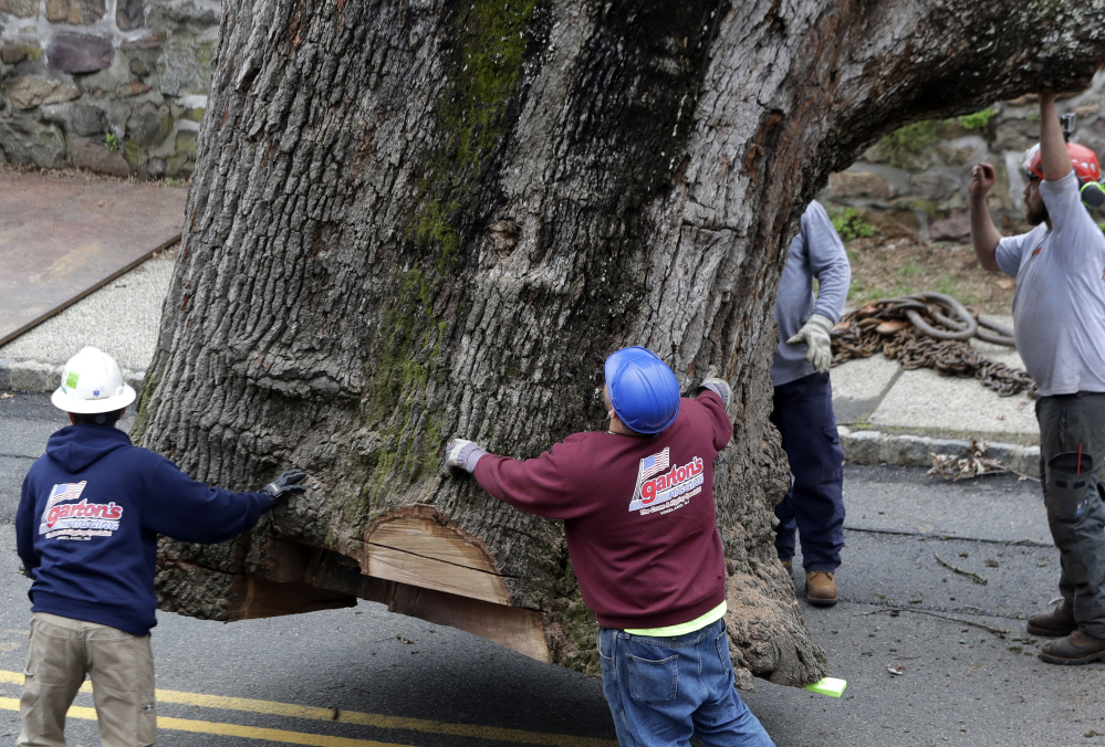 Crews guide the trunk of a 600-year-old oak as it is moved by a crane Wednesday, in Bernards, N.J.