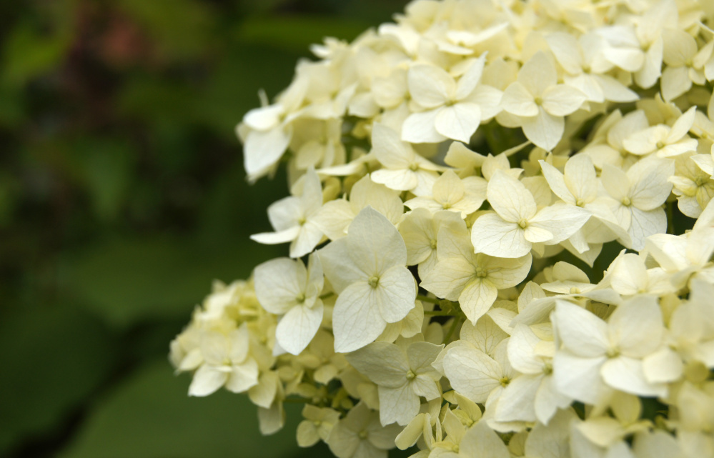 plant these 12 shrubs and you ll have blooms from the start to end
