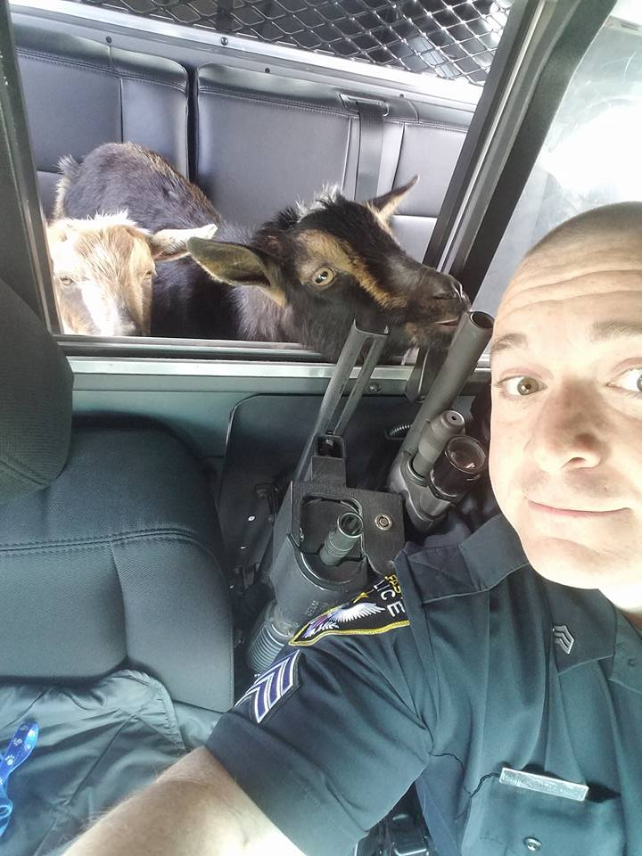 Sgt. Daniel Fitzpatrick of the Belfast Police Department found the goats in a woman's garage snacking on cat food. They were first spotted on High Street near the parking lot for the rail trail.