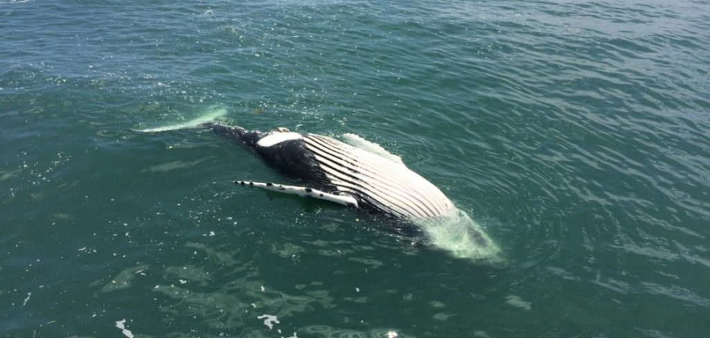 This dead humpback was found floating in Delaware Bay in July 2016.