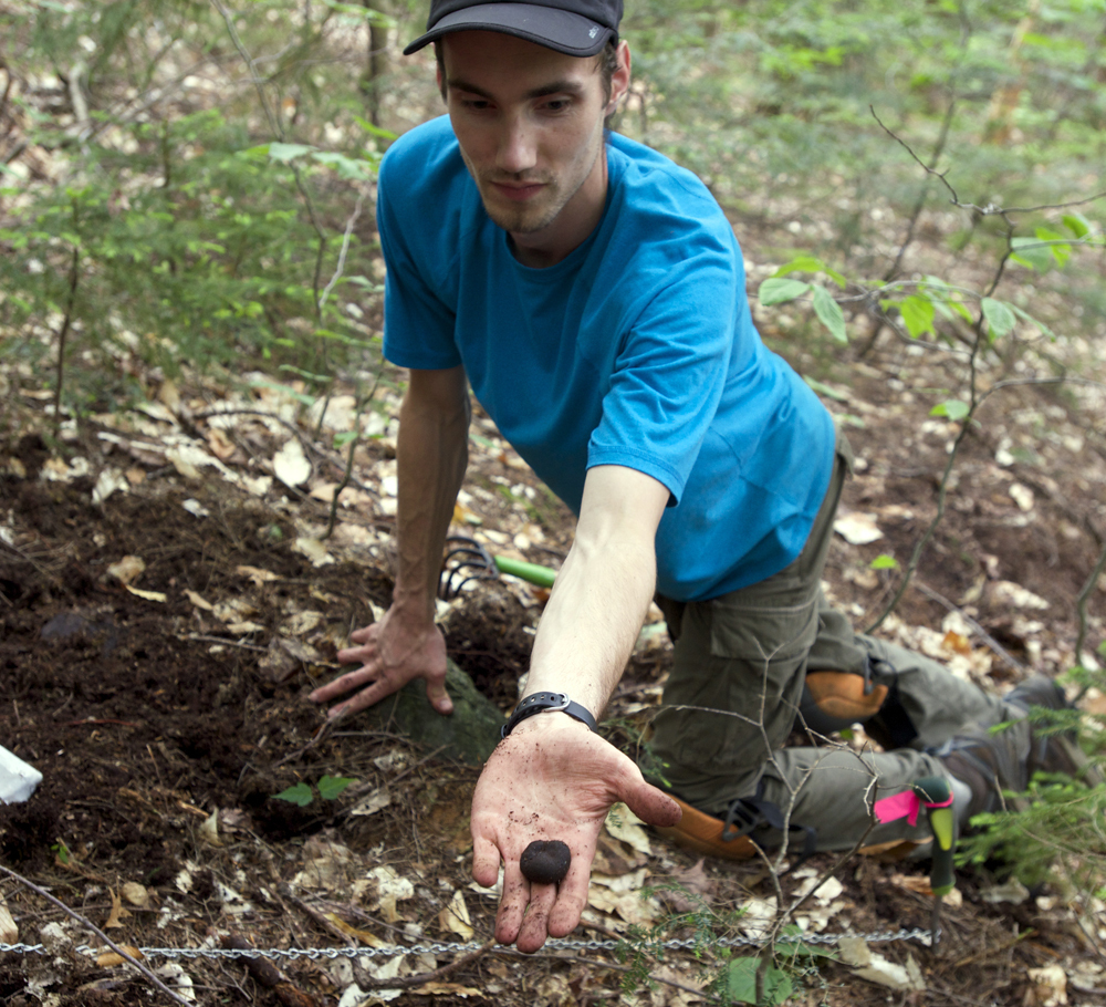 Doctoral student Ryan Stephens finds a truffle in the Bartlett Experimental Forest in the White Mountain National Forest in New Hampshire in 2014.  Researchers have identified five new truffle species in the forest.