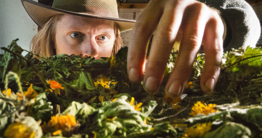 Dan Marion checks on the progress of calendula drying in his Cape Elizabeth barn.