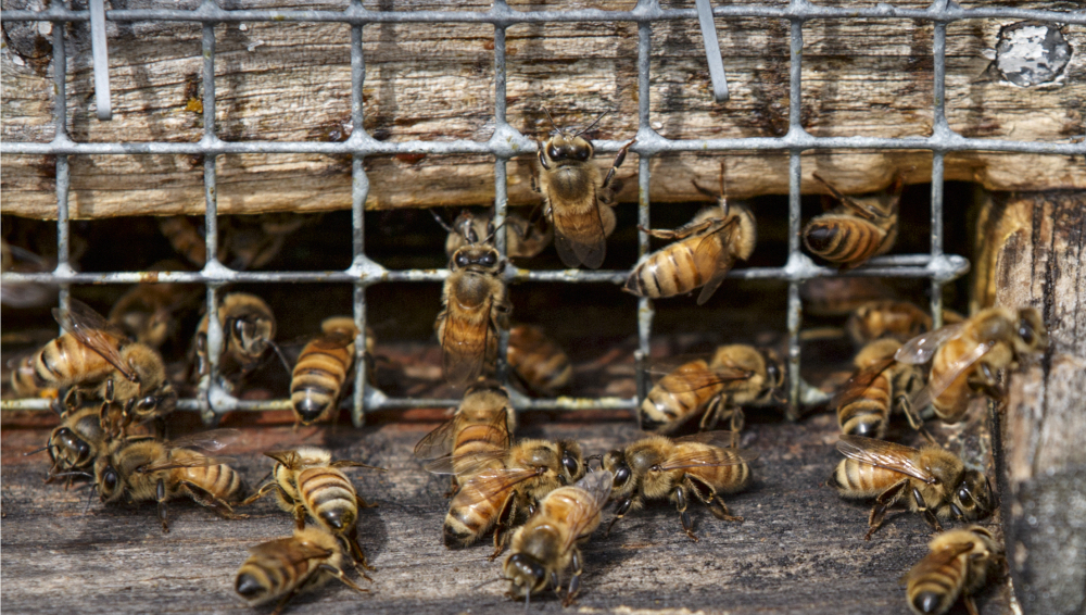 "Associated Press/J. Scott Applewhite Winter losses of honeybees in the U.S. were at the lowest levels in more than a decade with only 21 percent of the colonies dying, a survey of beekeepers reveals. But it has only ""gone from horrible to bad,"" the survey director warns."