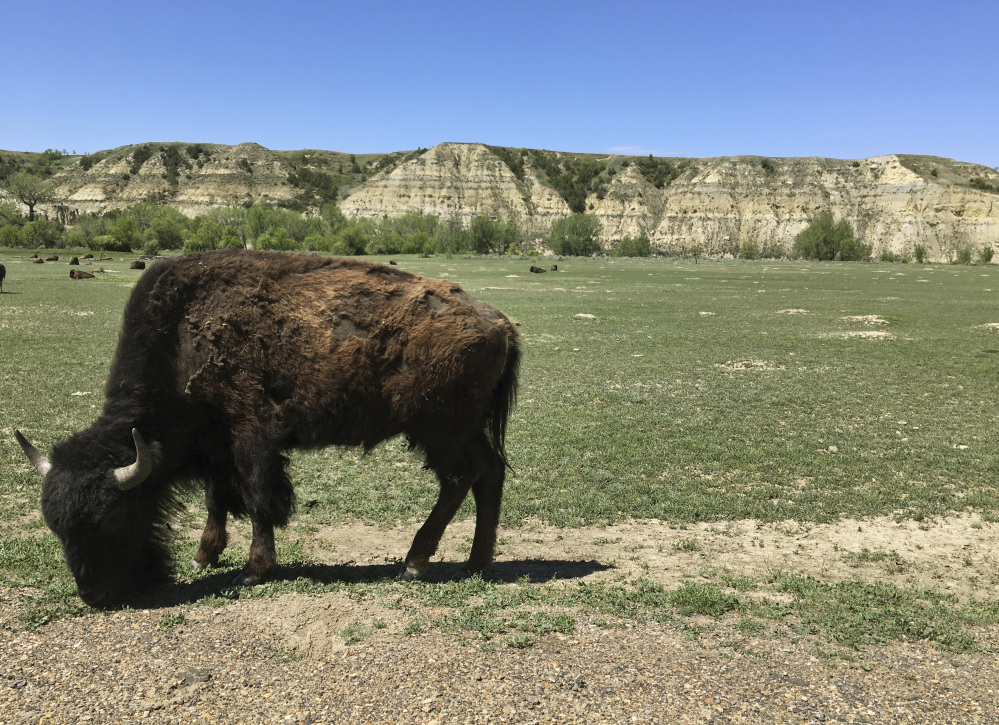 A bison munches grass in Theodore Roosevelt National Park in western North Dakota, where a company wants to build an oil refinery about three miles away.