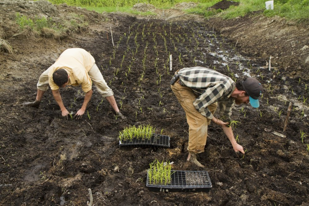 David Gulak and Ben Rooney, co-owners of Wild Folks Farm in Benton, plant a small rice paddy in May 2014.
