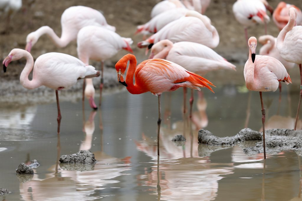 Pink flamingos stand in their enclosure at the Paris Zoological Park in the Bois de Vincennes, France, east of Paris.