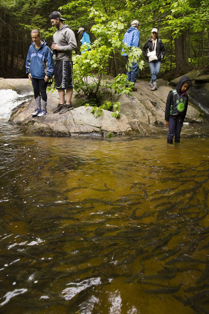 Spectators watch alewives in Casco Bay's largest migrating fish run in Westbrook's Mill Brook on Saturday, June 3, 2017. The alewife run can be viewed via trails in the Presumpscot Regional Land Trust's Mill Brook Preserve.