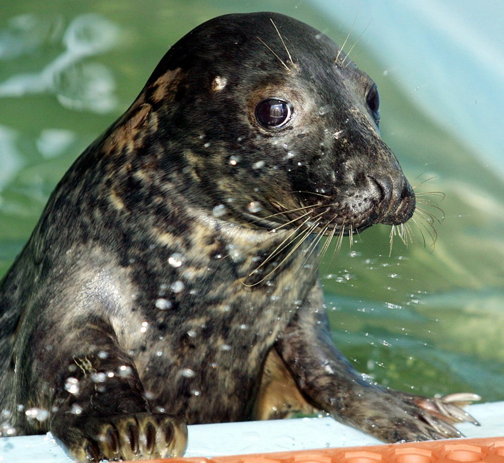 Researchers estimate that there are now as many as 50,000 gray seals near Cape Cod and Natucket.