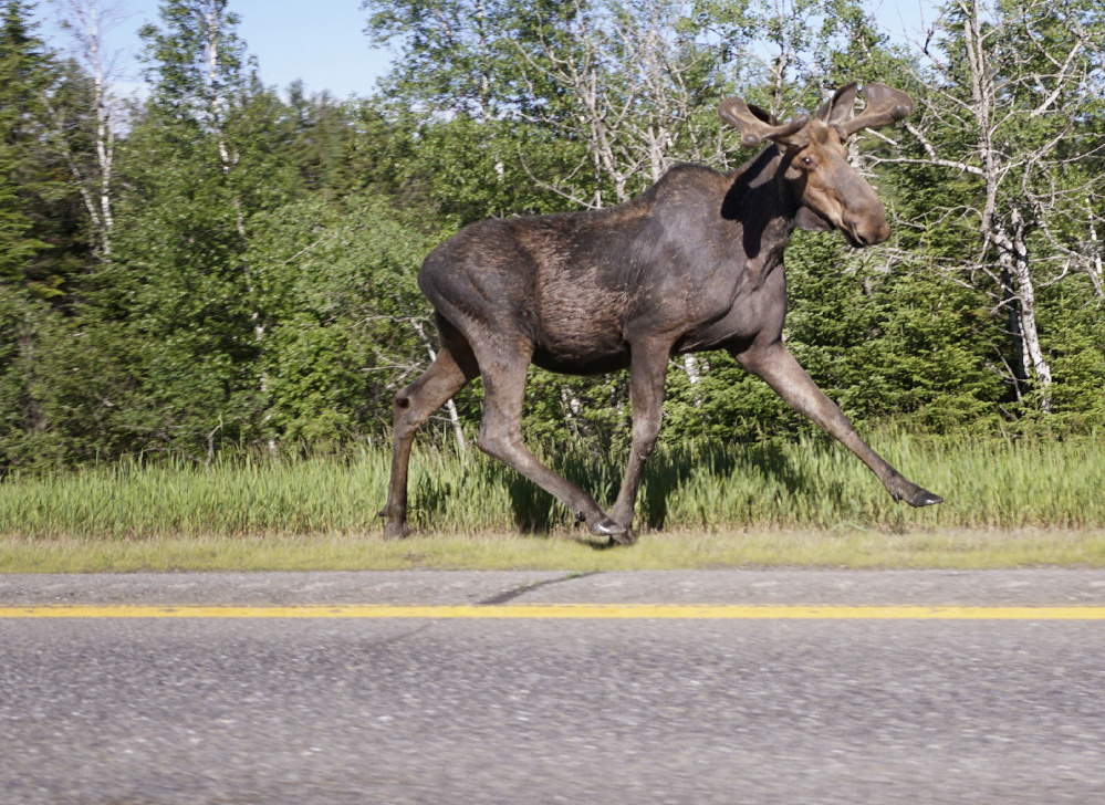 A moose runs along the shoulder of Interstate 95 near Howland on Wednesday. The state will allot 2,080 hunting permits Saturday, but none will be issued for three midcoast districts where a dramatic decrease in collisions points to fewer moose in the region's herd.