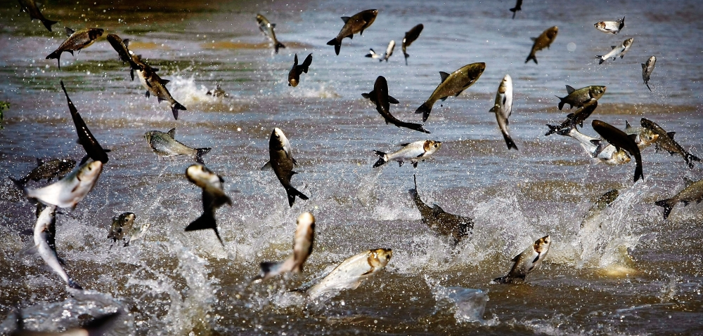 carp lake chat sites An asian carp found in a chicago waterway near lake michigan began  chat support chat support  asian carp found near lake michigan got past barriers an asian .