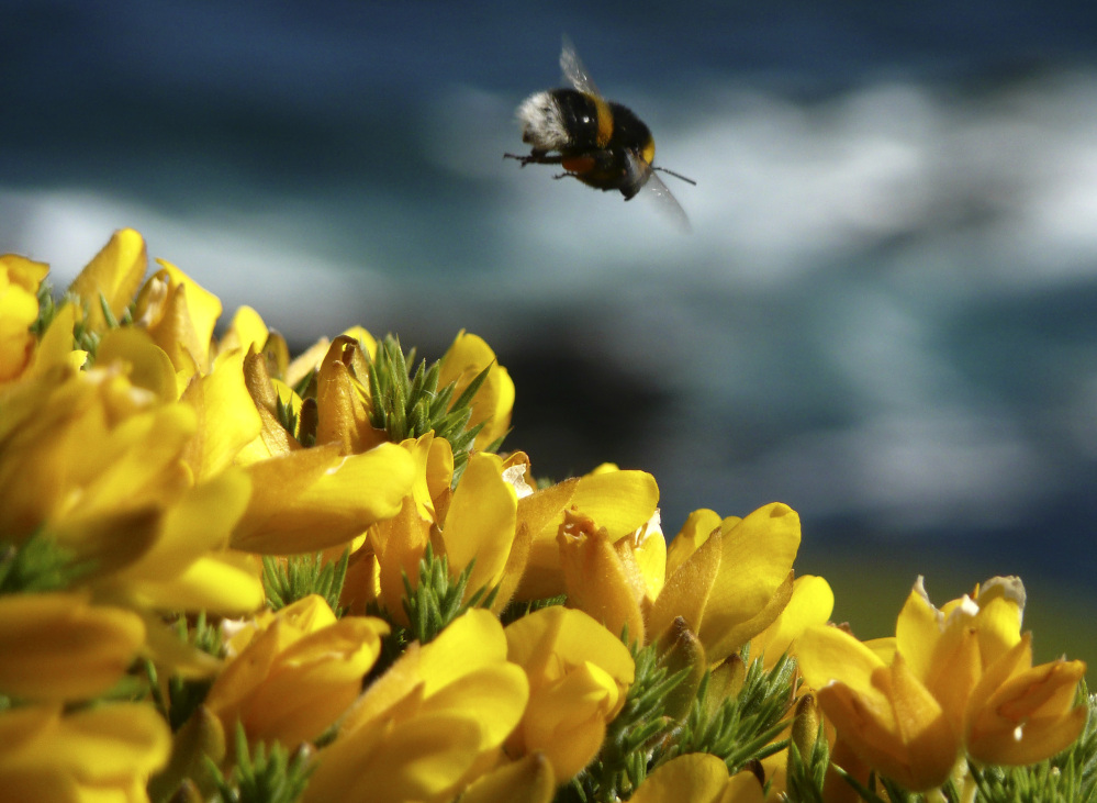 A bumble bee hovers over gorse in England. A new study shows that a common and much-criticized pesticide dramatically weakens already vulnerable honeybee hives.