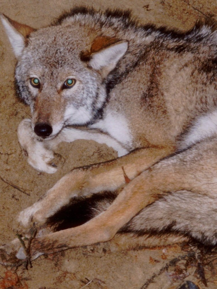 Programs meant to catch coyotes like this one in Massachusetts (pictured before being released back into the wild) may have the opposite of the intended effect.