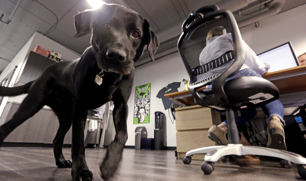 Jack, belonging to Geniuslink co-owner Jesse Lakes, roams the office in Seattle, where employees' perks include canine companions, Bose noise-canceling headphones, soccer tickets, Amazon gift cards and daily lunches at nearby restaurants.