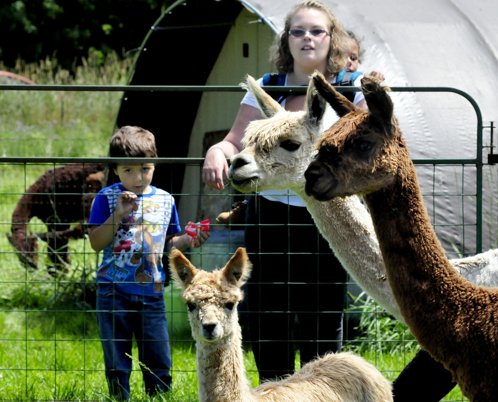 Sherri Young and her stepchildren, Landon, left, and Curtis, check out the alpacas Sunday at Bag End Suri Alpacas of Maine.