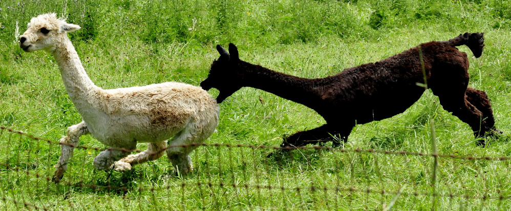 One male alpaca runs away from another that is ready to bite on Sunday at the Bag End Suri Alpacas of Maine farm in Pittsfield during Maine Open Farm Day. Farm owner Jill McElderry-Maxwell said the pen with the males was filled with alpacas excited about the nearby female alpacas.