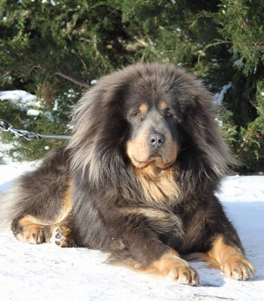 A Tibetan mastiff. A court ruled an Oregon couple have to devocalize their Tibetan and Pyrenean mastiffs.