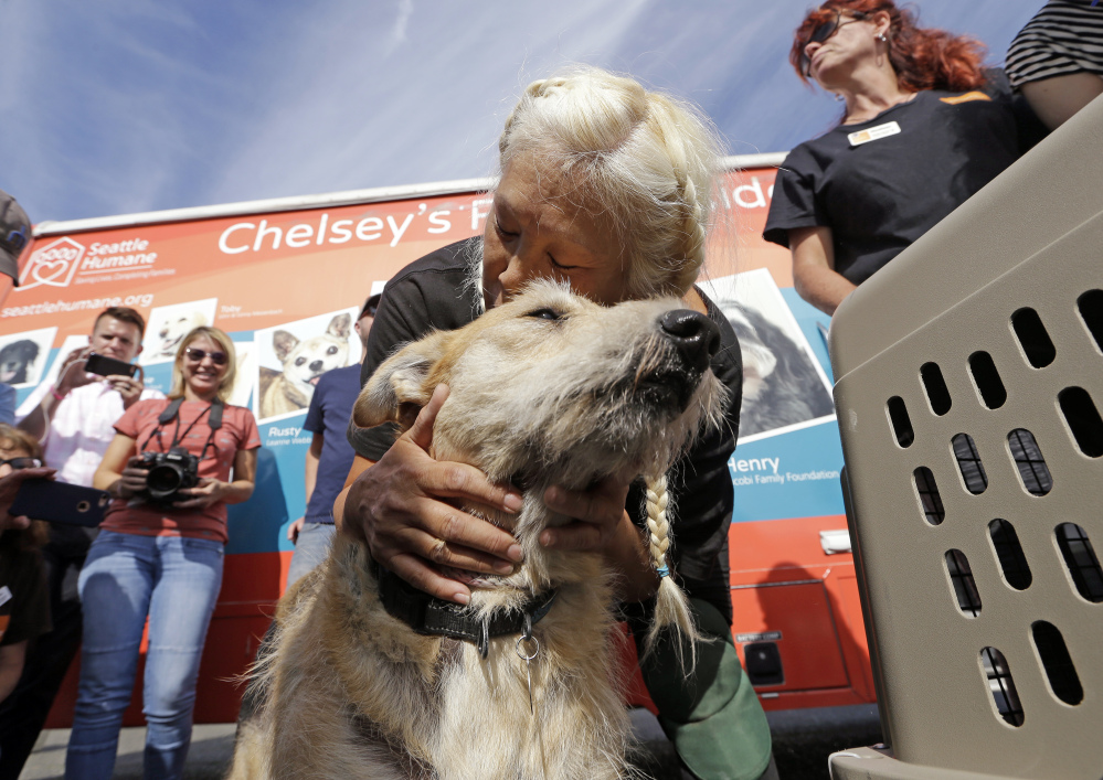 Wings of Rescue volunteer Cathi Perez leans down to embrace a rescue dog, the last of a load of 35 dogs from Texas shelters flown to Seattle on Wednesday to make space for pets rescued in the Hurricane Harvey aftermath.