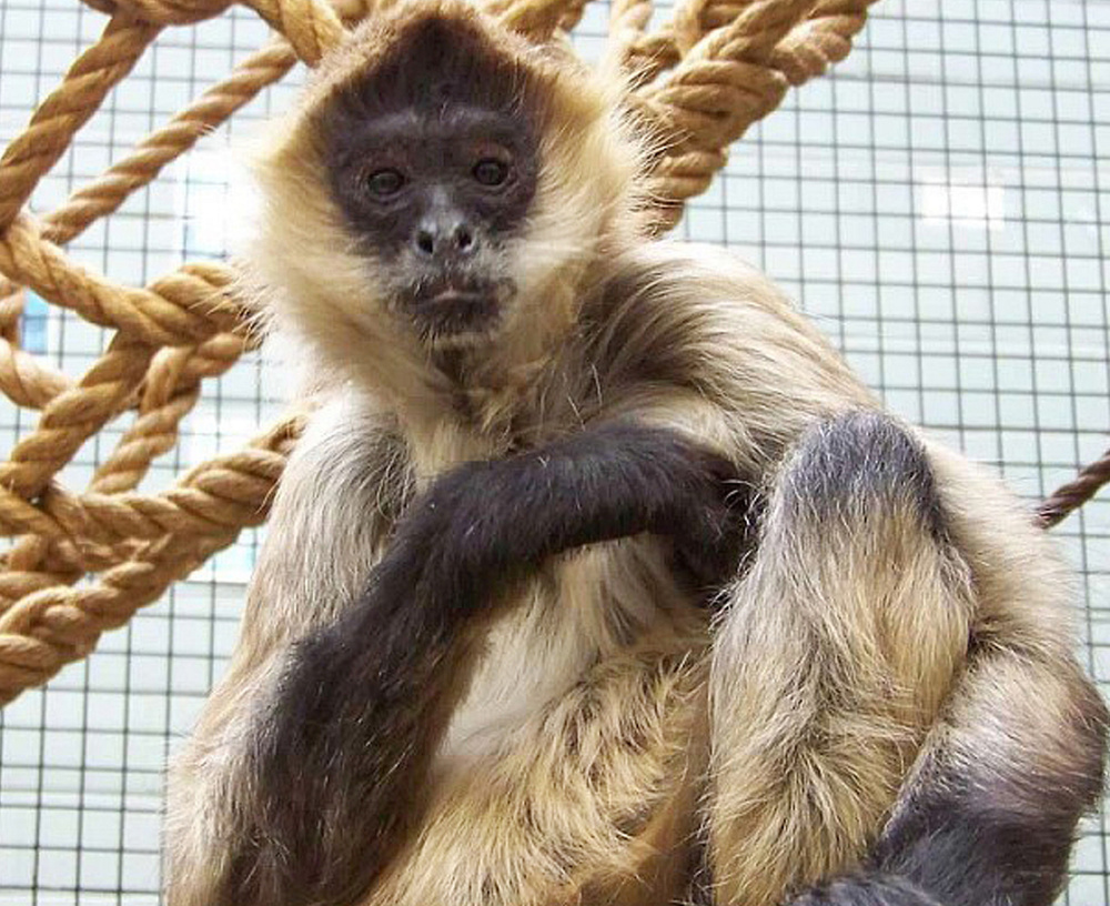 A spider monkey named Spiderman died of terminal cancer in Rochester, N.Y.