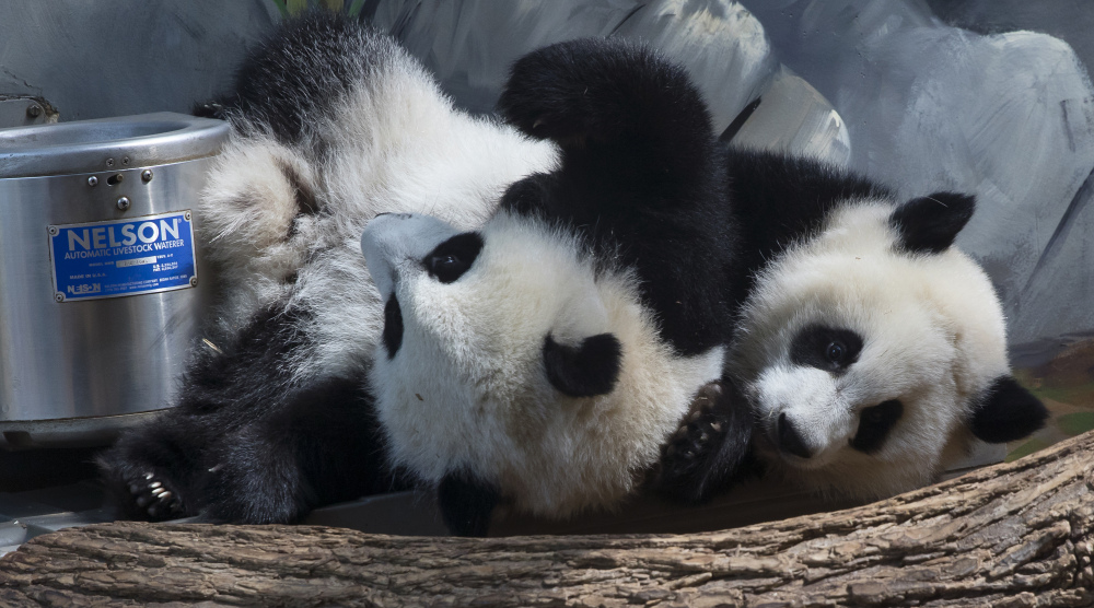 Giant panda twins Ya Lun and Xi Lun at the zoo in Atlanta