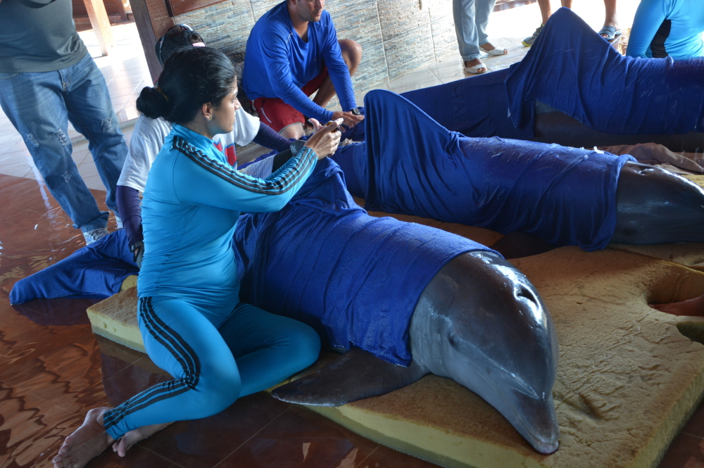 Handlers from the Cayo Guillermo dolphinarium in Cuba wrap dolphins in wet towels on Friday to prepare for their transfer to a facility in Cienfuegos, on the southern coast and farther from Hurricane Irma's path.