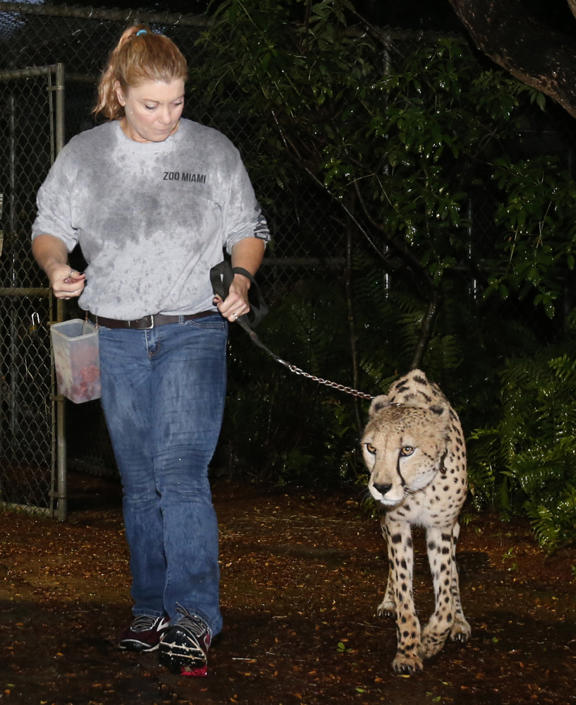 Jennifer Nelson, senior keeper at Zoo Miami, leads a cheetah named Koda to a hurricane-resistant structure at the zoo on Saturday.