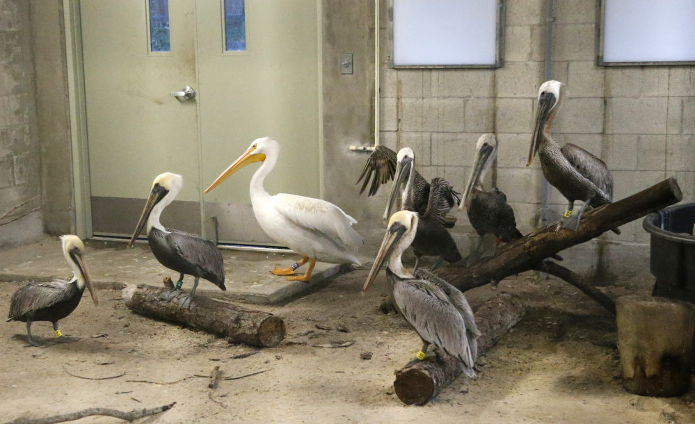 Pelicans at Zoo Miami are secured inside a building at the zoo Saturday. Many zoos, theme parks and rescue centers in Florida were rushing to protect their animals as Hurricane Irma approached.