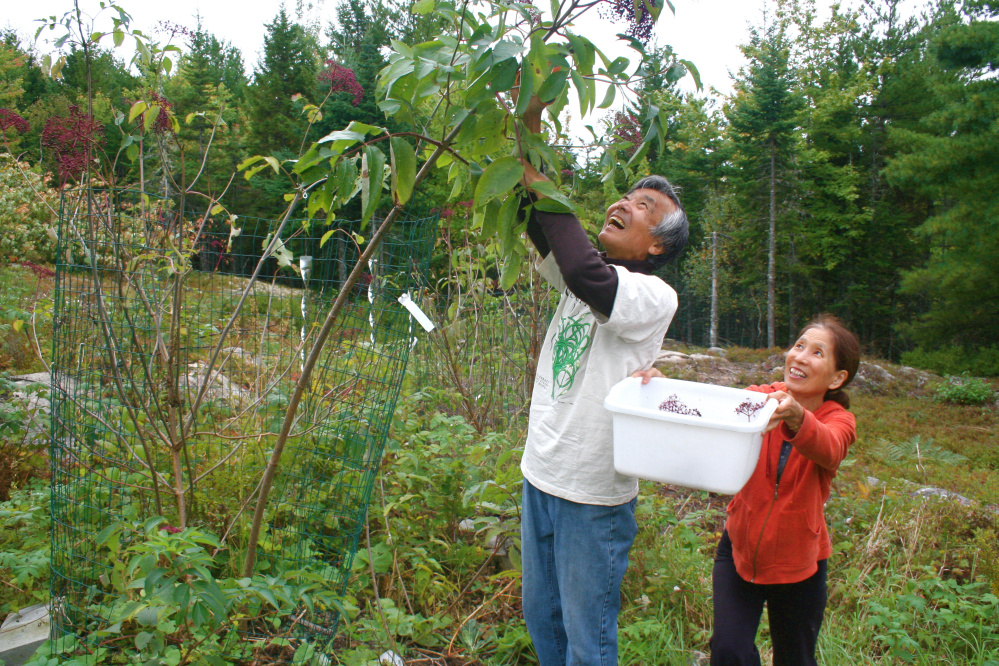 Concert pianist Masanobu Ikemiya and his wife, Tomoko, harvest elderberries on their homestead in Bar Harbor. They will teach a raw foods class on Sept. 22 at the Common Ground Country Fair.