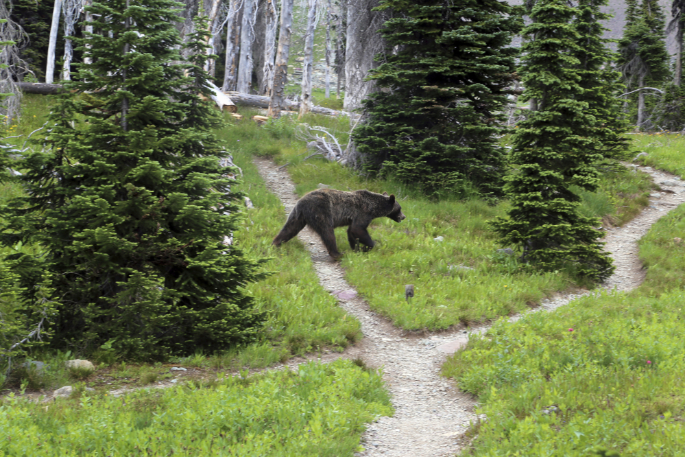 A grizzly bear walks through a back country campsite in Montana's Glacier National Park in 2014.  Associated Press/The Spokesman-Review