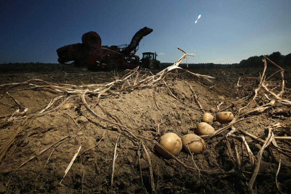 The delayed potato harvest is the latest setback for farmers after a dry season produced a smaller crop of potatoes.