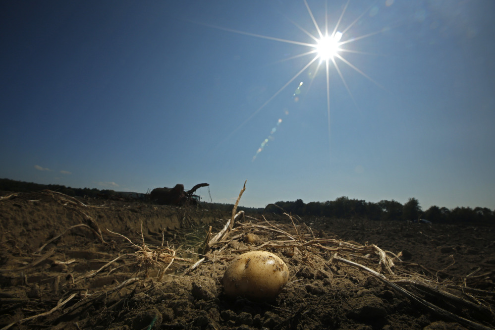 A potato remains in a field after harvesting was temporarily shut down because of unseasonably hot weather at Green Thumb Farms in Fryeburg .
