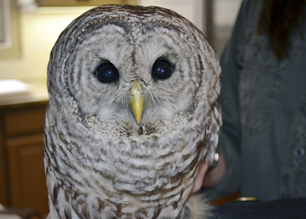 This owl was recovering in March after being hit by a truck and becoming lodged between the cab and the cargo hold.