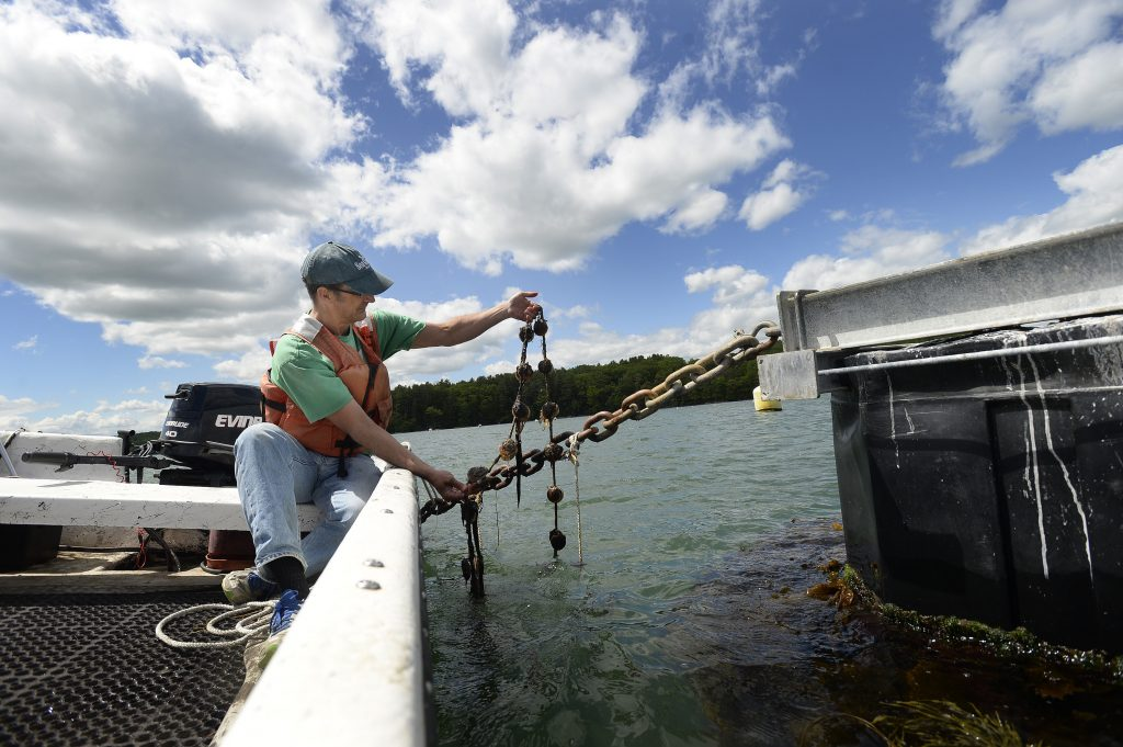 Dana Morse, an aquaculture researcher at Maine Sea Grant, checks on ear-hung scallops tied to an anchor chain on a mussel raft on the Damariscotta River in September. The Maine Sea Grant College Program has received a grant of nearly $600,000.