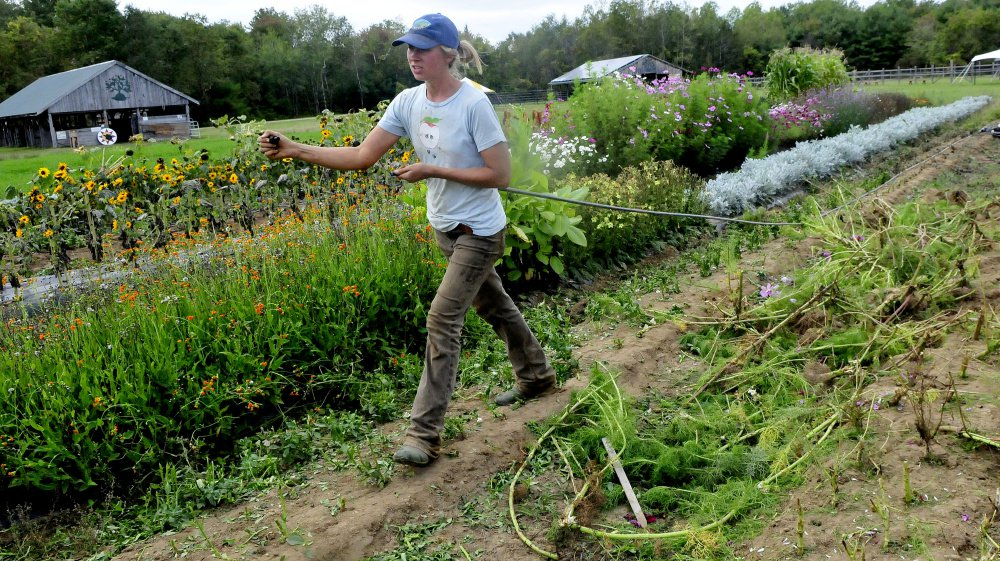 Resident farmer Carole Mapes clears water lines in one of the gardens on Monday so livestock can plow the spot this weekend for the Maine Organic Farmers and Gardeners Association 41st annual Common Ground Country Fair in Unity. The fair runs this Friday through September 24.