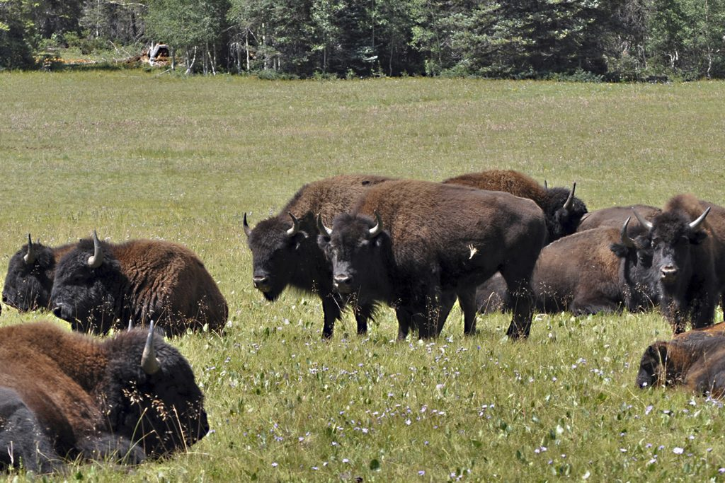 Bison graze in Kaibab National Forest, adjacent to the Grand Canyon, in northern Arizona.
