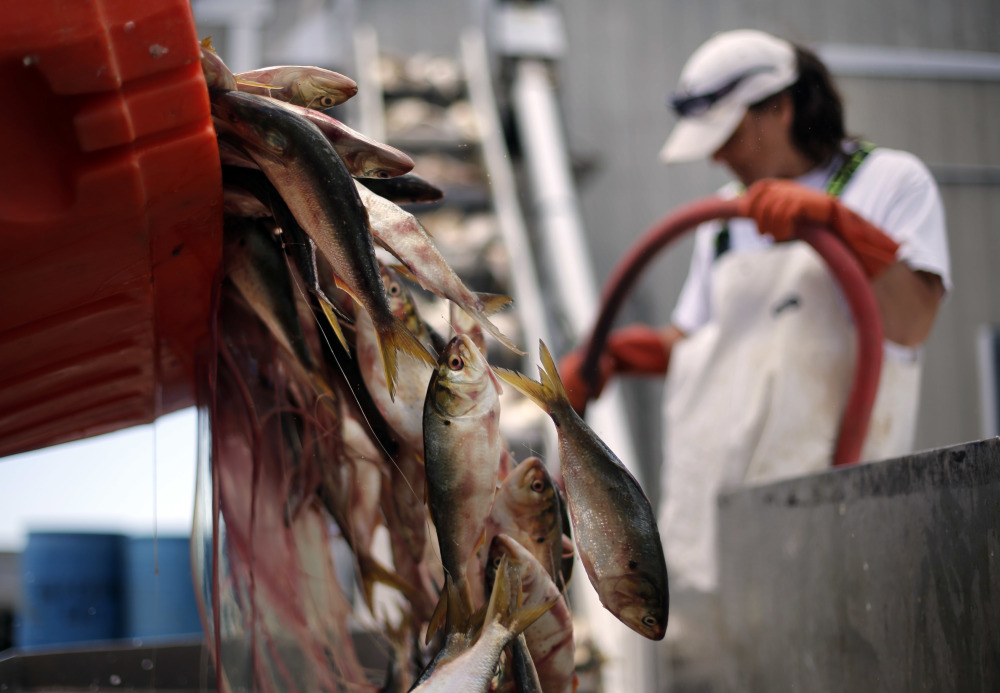 A load of menhaden is dumped onto a conveyer belt to be salted and packaged for lobster bait in Port Clyde. Menhaden, also known as pogies, could be certified for the first time by the Marine Stewardship Council.