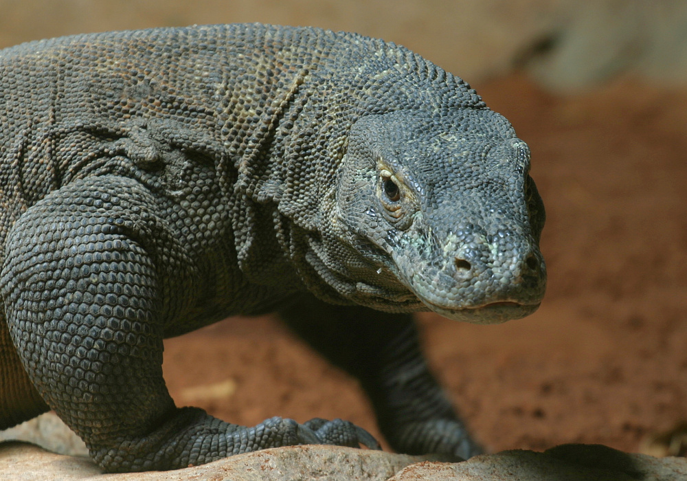 A 6.6-foot Komodo dragon at the national zoo in Pretoria, South African. Antimicrobial proteins in their immune system could lead to better antibiotics.