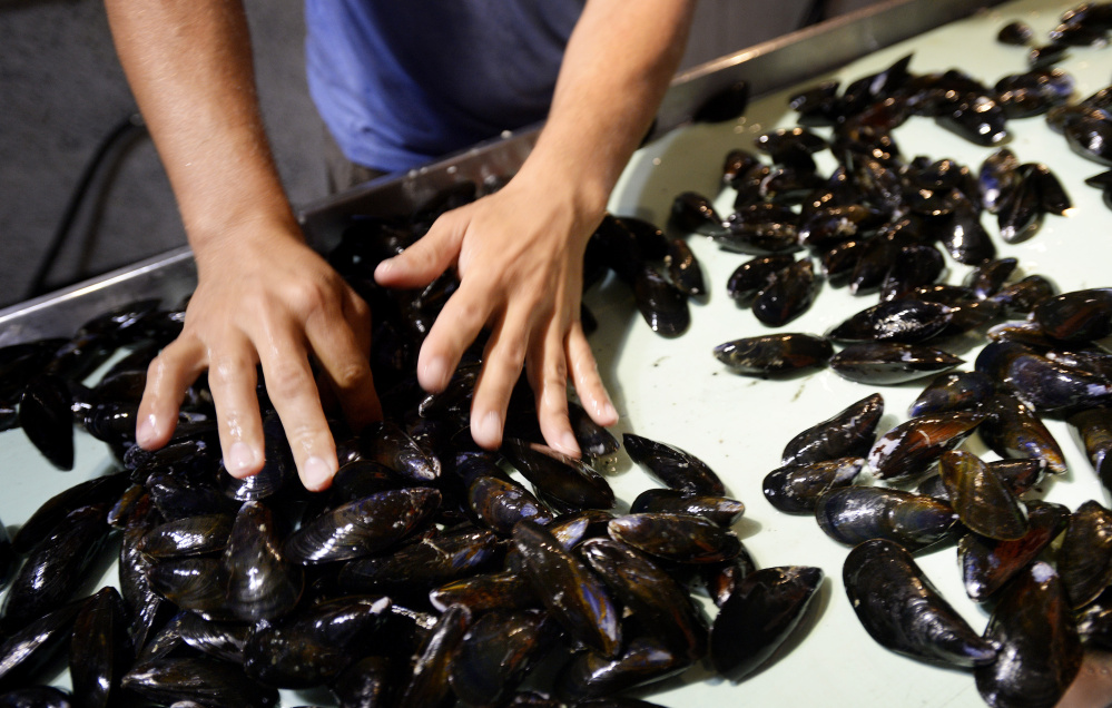 Sales of mussels grown in Maine aquaculture operations are strong, and demand outstrips supply. A professor at the University of Maine at Machias has won a grant to study large-scale culture of blue mussel seed, which could help increase production.