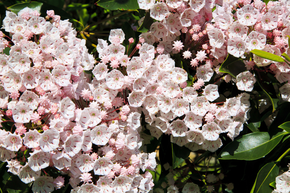 Mountain laurels are evergreens; full-size cultivars grow about 8 feet tall, with dwarf cultivars as small as 3 feet.